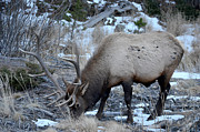 Matthew Lane - Bull Elk