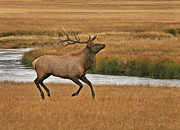 Clare VanderVeen - Bull Elk On The Move