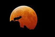 Bull Elk Print by Stuart Harrison