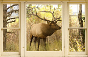 Window Art Framed Prints - Bull Elk Window View Framed Print by James Bo Insogna