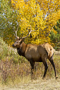 Bull Elk With Autumn Colors Print by James Bo Insogna