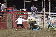 Bulls Photo Posters - Bull Fighter Rescue Poster by John Pratt