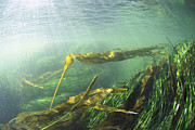British Columbia Prints - Bull Kelp And Sea Grass Print by Flip  Nicklin