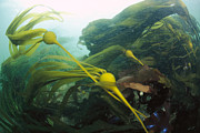 British Columbia Prints - Bull Kelp Waving in the Current Print by Flip  Nicklin