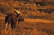 Bull Moose Prints - Bull Moose at Sunset Print by Tim Grams