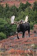 Bull Moose In Autumn Print by Tim Grams