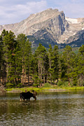 Rocky Mountain National Park Posters Prints - Bull Moose in Lake beneath Hallett Peak  Print by James Futterer