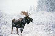 Ken M Johns - Bull Moose In Snow