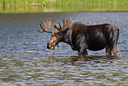 Rocky Mountain National Park Posters Prints - Bull Moose in Sprague Lake RMNP  Print by James Futterer