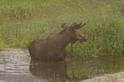 Moose Photos - Bull moose looking around  by Jeff  Swan