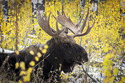 Twig Eater Prints - Bull Moose Print by Robert Weiman