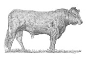 Bull Drawings - Bull No2 by Stuart Fowle