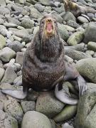Fur Seal Framed Prints - Bull Northern Fur Seal Holding Framed Print by John Gibbens