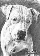 Pitty Framed Prints - Bull Terrier Sketch in Charcoal  Framed Print by Kate Sumners