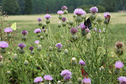 Kathy Clark - Bull Thistle and...