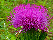 Bull Thistle Posters - Bull Thistle in Sunday Gulch Trail in Custer State Park-SD  Poster by Ruth Hager