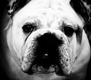 Grumpy Face Framed Prints - Bulldog 1 Framed Print by Alan Oliver