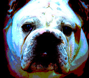 Grumpy Face Framed Prints - Bulldog 2 Framed Print by Alan Oliver