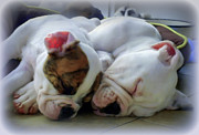 Sleeping Dogs Photo Prints - Bulldog Bliss Print by Karen Wiles