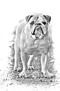 Bulldog Print by James Bo Insogna
