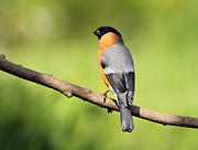 Photo Scotland - Bullfinch