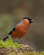 Paul Scoullar - Bullfinch