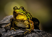 Frog Metal Prints - Bullfrog Watching Metal Print by Bob Orsillo