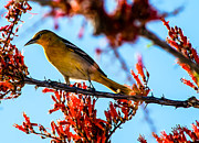 Imperial Valley Prints - Bullock Oriole Print by Robert Bales