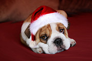 Santa Puppy Posters - Bully For Santa Poster by Julie L Hoddinott