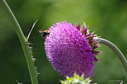 Tannis  Baldwin - Bumble Bee approaching Thistle