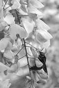 Wisteria In Bloom Framed Prints - Bumble Bee BW Framed Print by Janice Sullivan