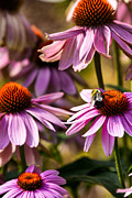Stinging Prints - Bumble Bee on Echinacea Print by Thomas R Fletcher
