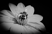 Gardens And Flowers - Bumble bee on flower by Crystal Wightman