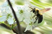 Bumble Bee On Flower Print by Dan Friend