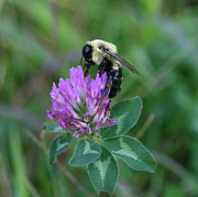 Home Decor Prints - Bumble Bee on Red Clover  Print by Neal  Eslinger