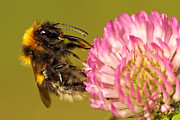 Max Allen - Bumblebee Feeding On...