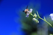 Floral Photographs Photo Originals - Bumblebee by Maurizio Grandi
