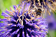 Horticulture Originals - Bumblebee on lovely blue flower by Tommy Hammarsten