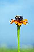 Zinnias Photos - Bumblebee on zinnia flower by John Greim