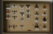 Bumblebees - Wild Bees - Wesps - Yellow Jackets - Ichneumon Flies - Apiformes Vespulas Hymenopteras  Print by Urft Valley Art