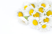 Bellis Prints - Bunch of Daisies Print by Anne Gilbert