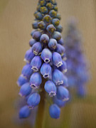 Blue Grapes Photos - Bunch of Grapes by Irina Wardas
