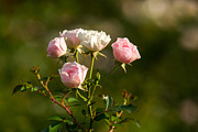Single Rose Stem Photos - Bunch Of Tenderness - Featured 3 by Alexander Senin
