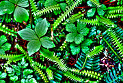 Forest Floor Prints - Bunchberry and Ferns Print by Cynthia Lagoudakis