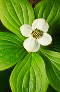 Photographic Art Art - Bunchberry Blossom by ABeautifulSky  Photography