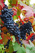 Bunches Of Grapes Print by Jani Freimann