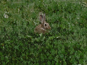 Rabbit Digital Art Metal Prints - Bunny Metal Print by Ernie Echols