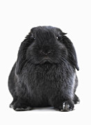 Pet Photo Posters - Bunny rabbit Poster by Elena Elisseeva