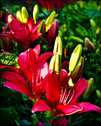 City Scapes Greeting Cards Prints - Burgandy Lillies Print by Carol Toepke