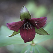 Birthroot Framed Prints - Burgandy Trillium Squared Framed Print by Teresa Mucha